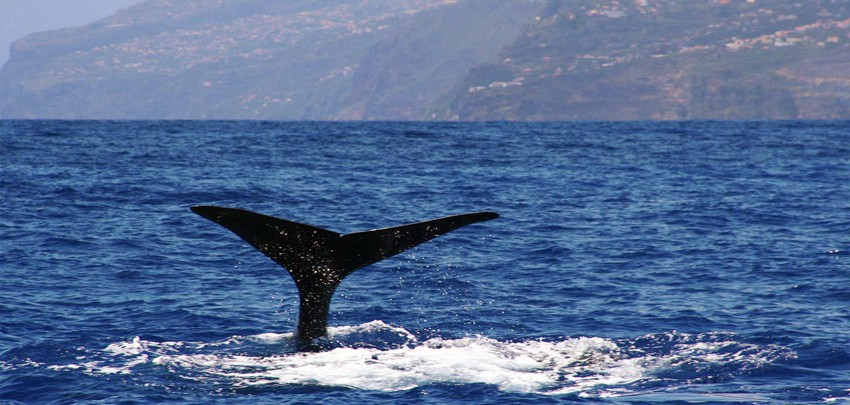 Madeira-Dolphin-and-Whale-Watching-507